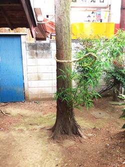 八雲神社裏にある老木